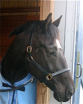 The Sound Equine Halter